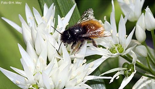 JEZT - Gehoernte Mauerbiene auf Baerlauch - Foto © H May - NABU