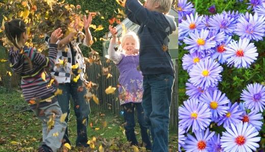 JEZT - Astern - Die Herbstblumen - Foto @ Gardena