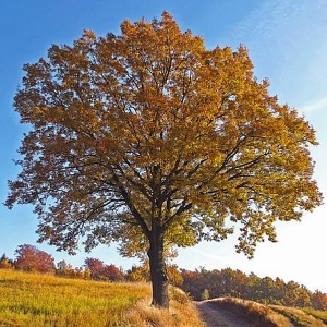 JEZT - Die Trauben-Eiche - Quercus petraea - Foto © Andreas Rohloff