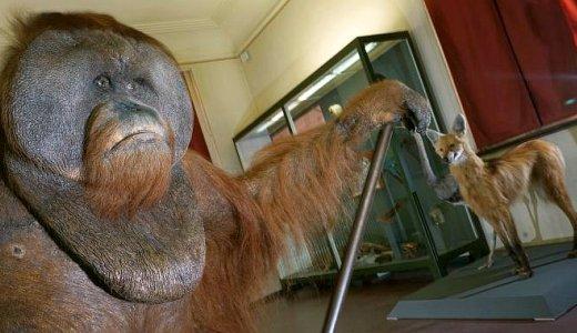JEZT - Dieser praeparierte Orang-Utan gehoert zu den wichtigsten Exponaten der neuen Sonderausstellung im Phyletischen Museum - Foto © FSU Kasper