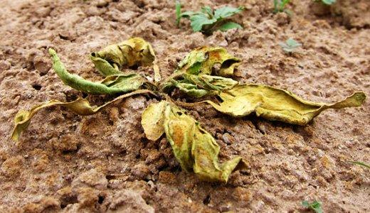 JEZT - An einer ploetzlichen Wurzelfaeule erkrankte Tabakpflanzen auf einem Versuchsfeld im Lytle Preserve Utah USA - Foto © MPI fuer chemische Oekologie Jena Weinhold