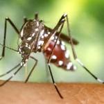 Die Asiatische Tigermücke - Aedes albopictus - Foto © M Jelcic