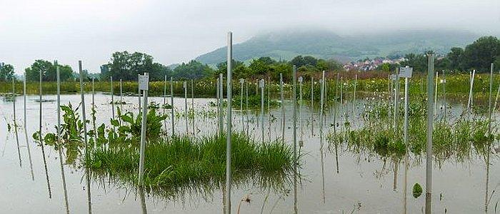 jezt-beim-hochwasser-im-juni-2013-trat-die-saale-ueber-die-ufer-und-ueberschwemmte-die-oekologischen-freilandversuchsflaechen-des-jena-experiments-foto-victor-malakhov-fsu