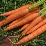 In vielen Gemüsesorten, zum Beispiel in Karotten, sind Carotinoide enthalten.. - Foto © FSU Foto Saskia Wenck