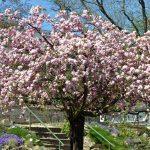 Die Kirschblüten treiben in Japan seit Mitte des 20. Jahrhunderts immer früher aus. - Foto © FSU Anne Günther