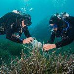 Taucher sammeln Blätter des Neptungrases (Posidonia oceanica) in der Bucht von Calvi auf Korsika. - Foto: FSU Christian Jogler