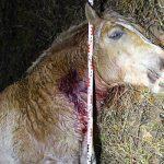 Pferde auf  einer Koppel zwischen Löberschütz und Graitschen attackiert: Ein Tier ist verendet